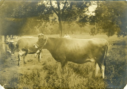 Bloomfield Cows ca. 1920